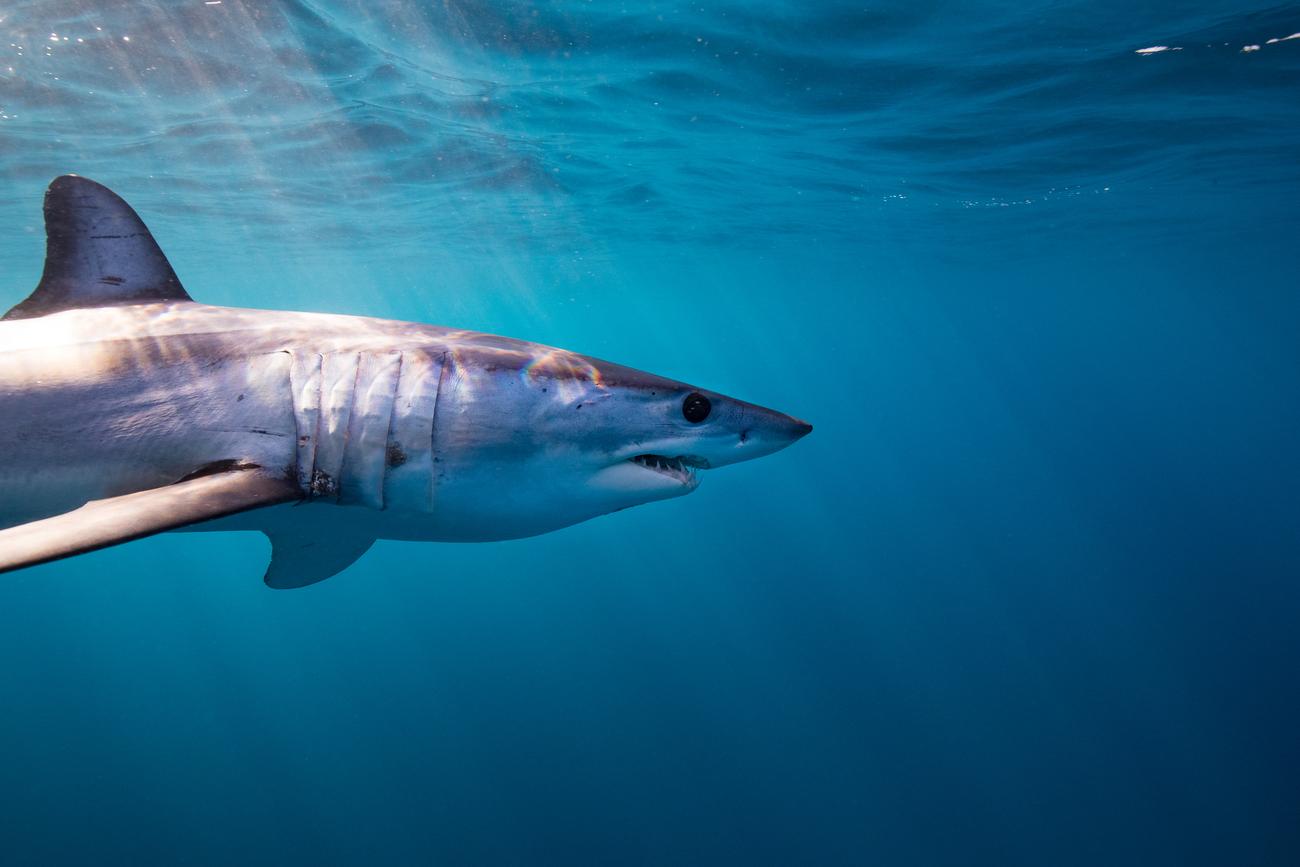 Better Management for Sharks & Rays