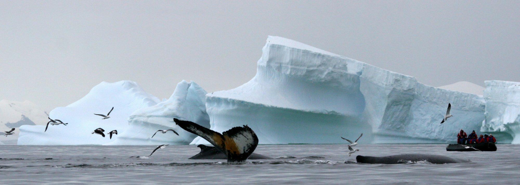 Antartic humpback1 rl 2000x712